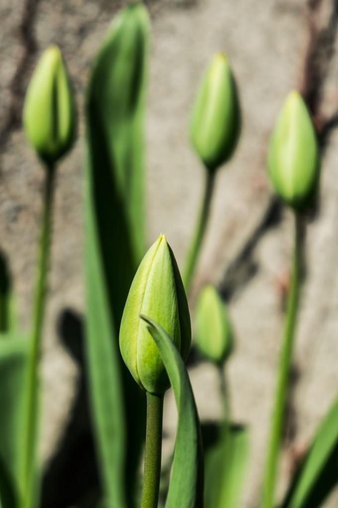 Tulipaner i full blomst