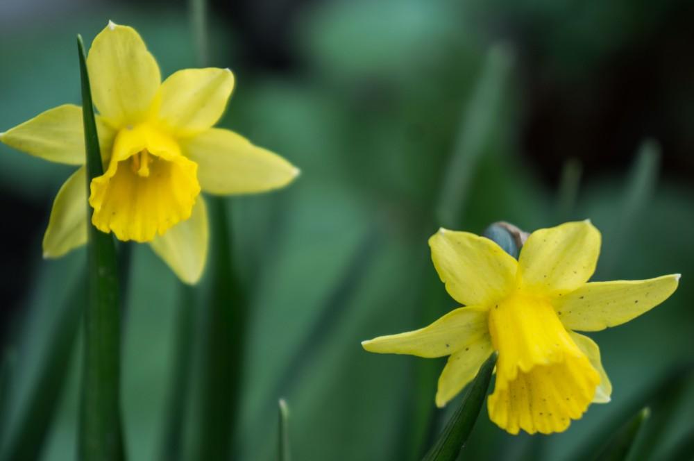 Vakre påskeliljer